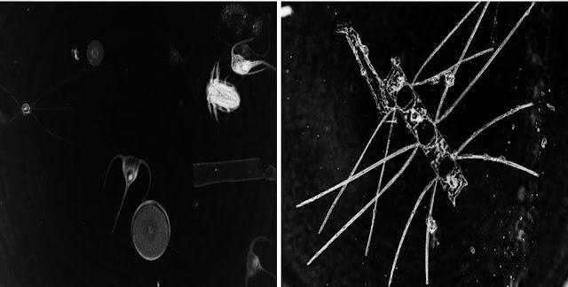 البلانكتـون,العـوالق البحـريـة,العـوالق النباتيـة,العـوالق الحيـوانيـة,الماء,الطحالب,التمثيـل الضـوئي,الاكسجين,المحيطات,الكائنات المجهـريـة,المجهـر