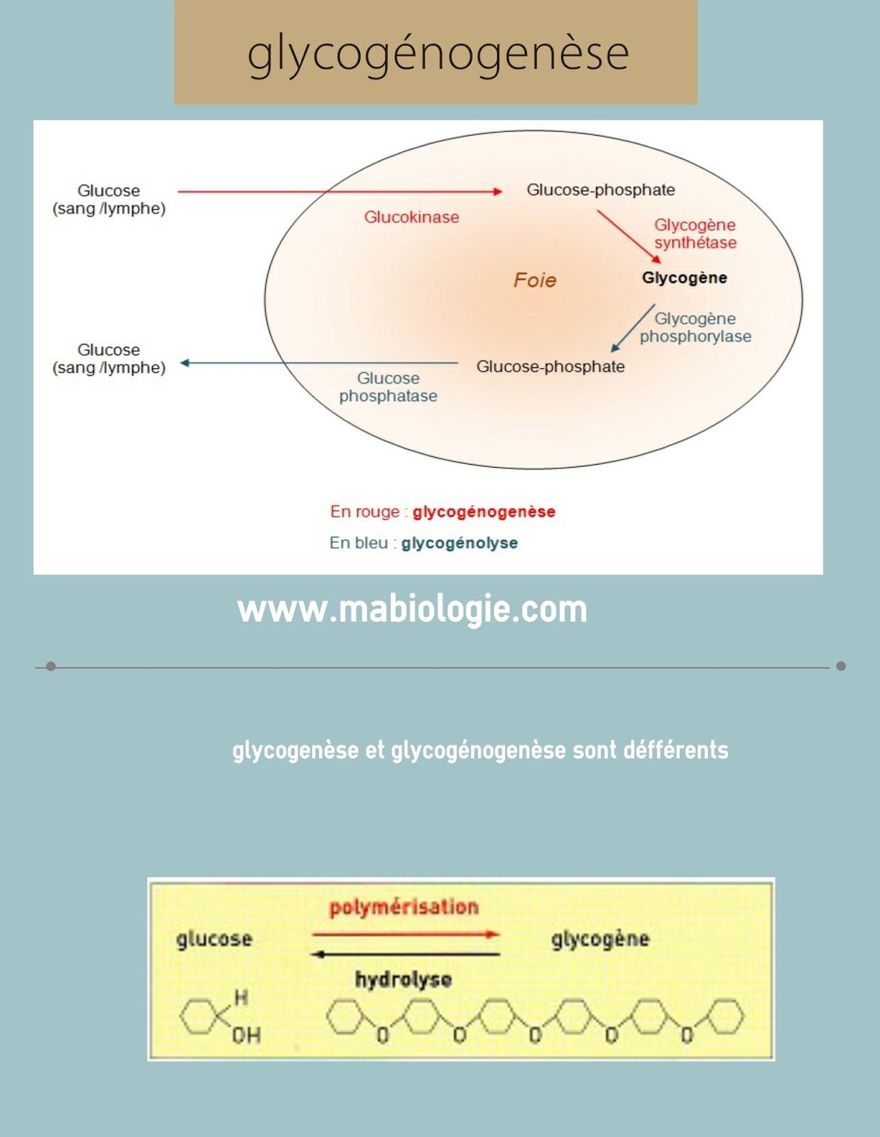 Définition glycogénogenèse