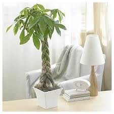 Money Tree Plant Is A Traditional Symbol Of Good Luck And