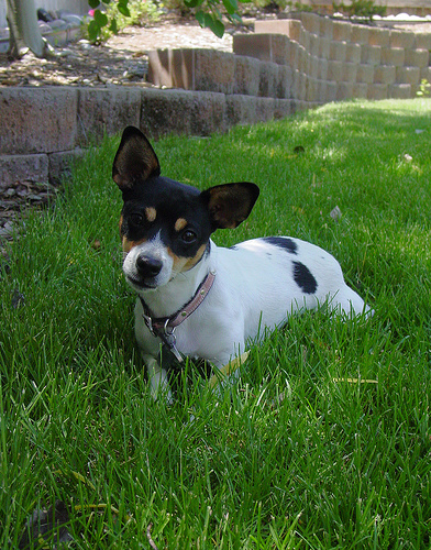 cute dogs rat terrier dogs