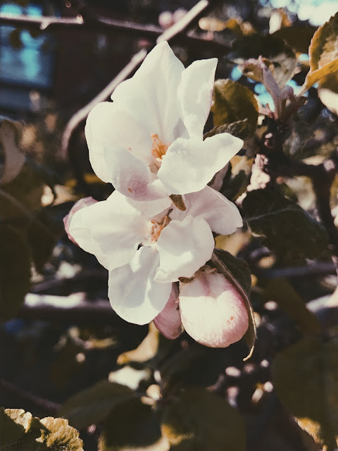 omenan kukkia