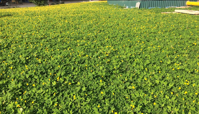 cỏ lạc dại trồng thảm
