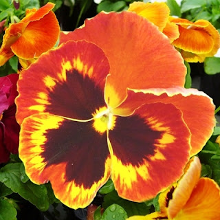 como plantar o Amor perfeito (Viola wittrockiana)
