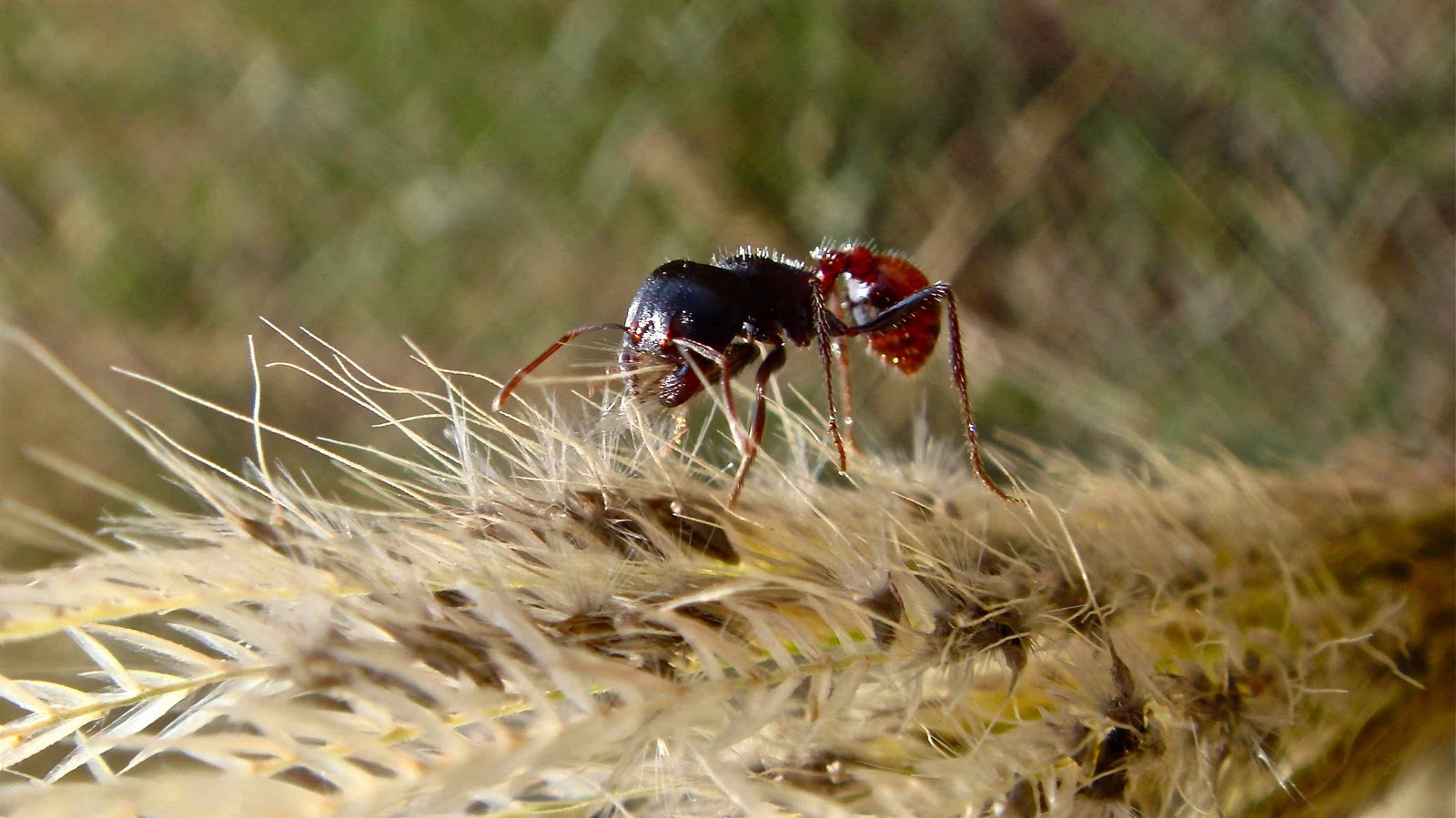 Harvester ants - photo#51