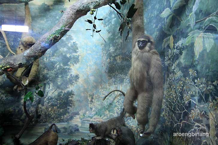siamang museum zoologi bogor