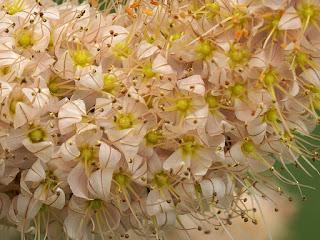 Eremurus x isabellinus 'Ruiter hybrids'