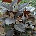 Manfaat Luar Biasa dari daun Handeuleum atu Daun Ungu