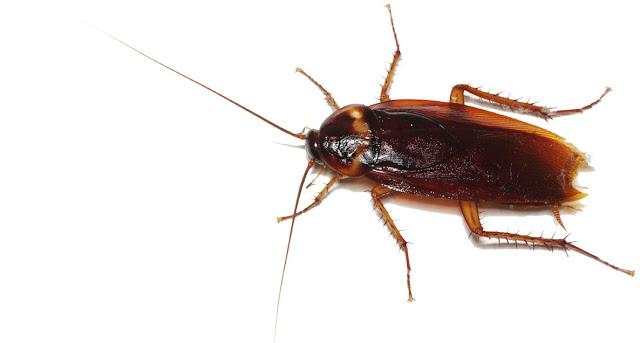 Blatoideos e insectos