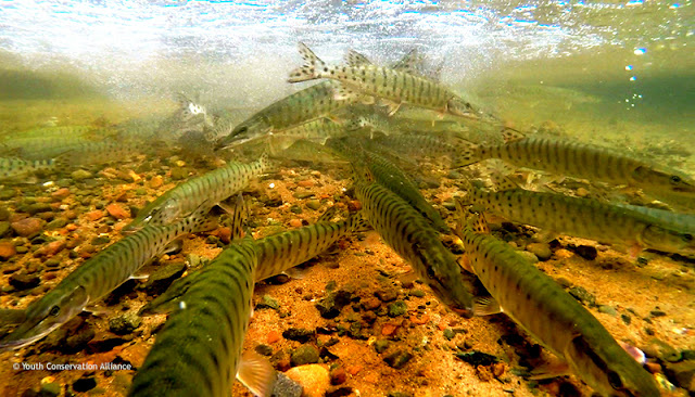 Microscope world blog muskie fish under the microscope for Muskie fishing wisconsin
