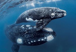 Southern Right Whale, Eubalaena australis