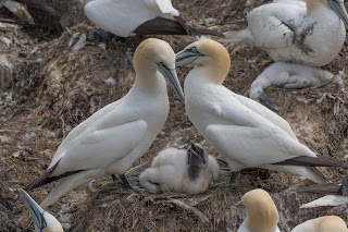 Northern gannet pair with chick