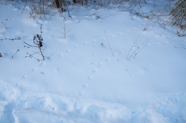 Wild Here Animal Tracks in Snow Deer Mouse