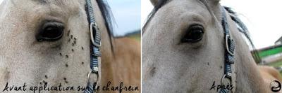 Avant/après d'un cheval débarrassé des mouches par un insectifuge naturel.