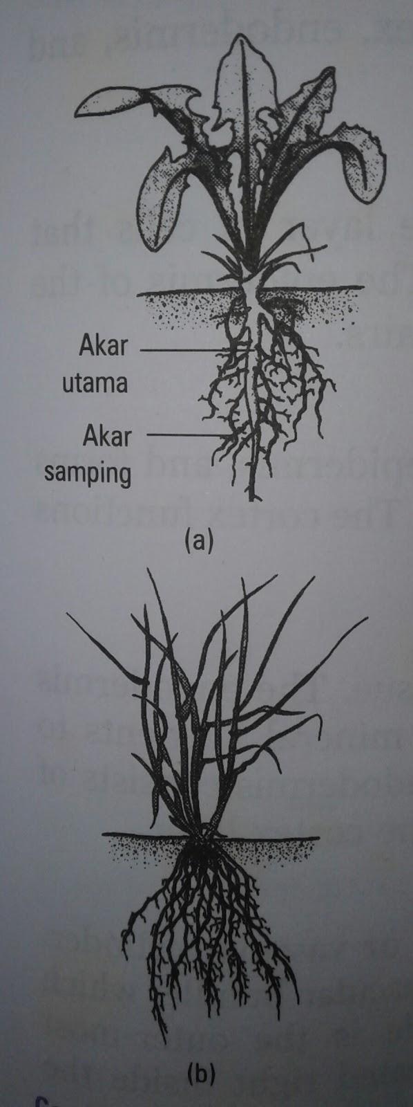 Struktur Dan Fungsi Tubuh Tumbuhan Akar Batang Daun Struktur Luar Dan Dalam Biologi Ayok Belajar