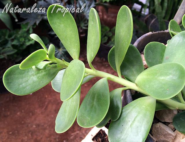 Detalle de las hojas de la planta Kleinia petraea o Senecio jacobsenii