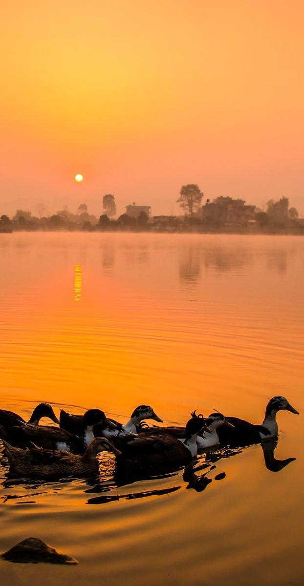 Ducks swim in the ember of the sun.