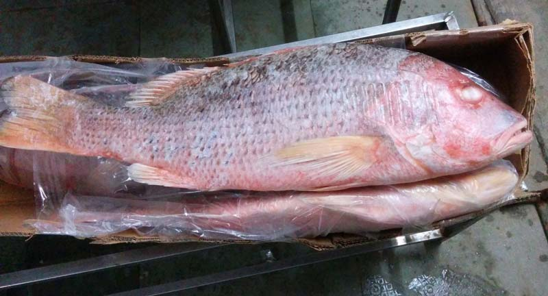 Red Snapper Fish Suppliers - Frozen Grouper Supplier