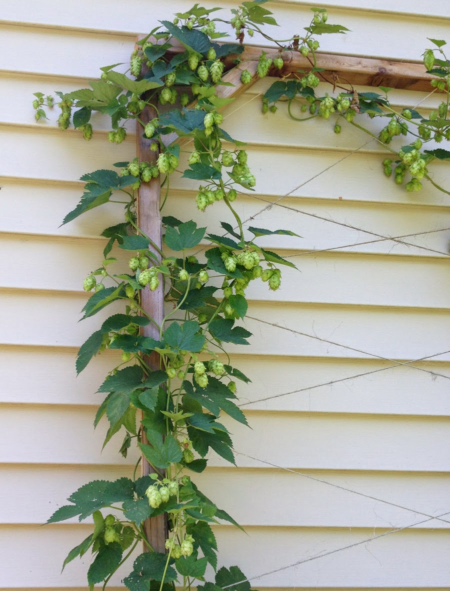 Growing Hops