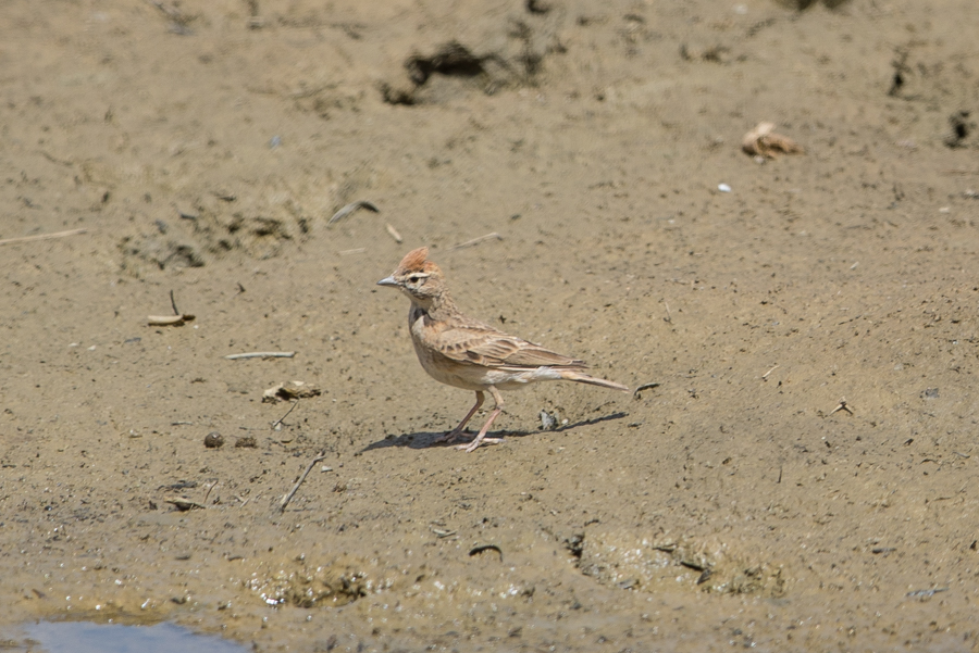 Arabian Red-capped Lark - Calandrella eremicais