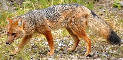Foto de un zorro caminando y alerta