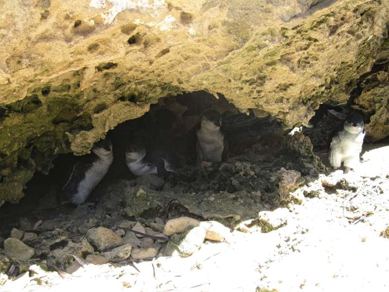 fairy penguins, Penguin Island