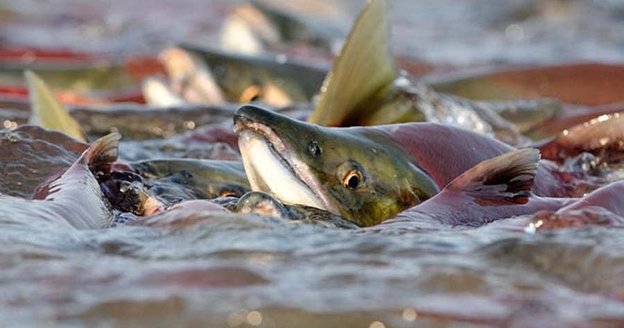 Лососевая рыба чем ловить