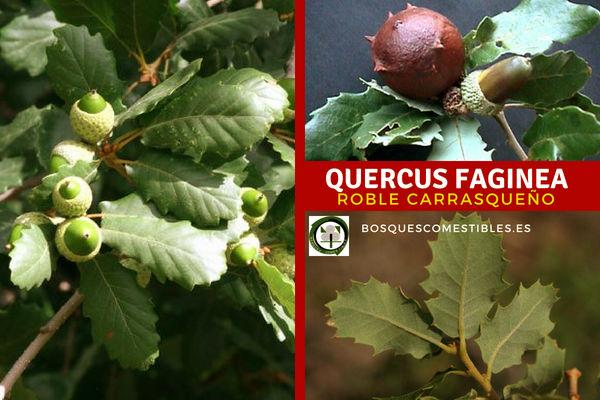 El Roble Carrasqueño o Quejigo, Quercus faginea, árbol de tamaño medio, que suele pasar de los 20 m. de altura.
