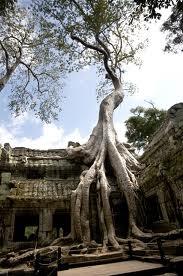 Pohon+Ta+Prohm+Kamboja - 10 Pohon Terunik di Dunia