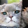 Bone Bone Si Kucing Raksasa Dari Thailand