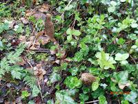 Morilles coniques, Morchella elata, dans le lierre