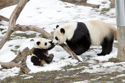interesting facts about Giant Panda