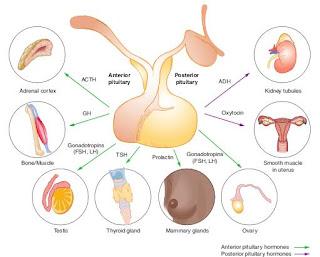 Fungsi Hormon di Dalam Tubuh Manusia