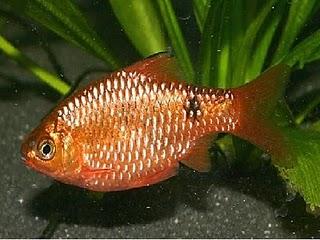 Aquarium Fishes Distinguish Between Male And Female Rosy Barb