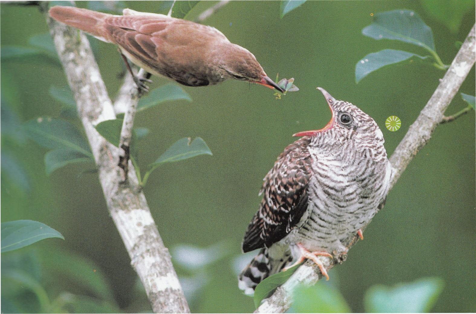 Tragedi Burung Perenjak Dan Burung Kedasih