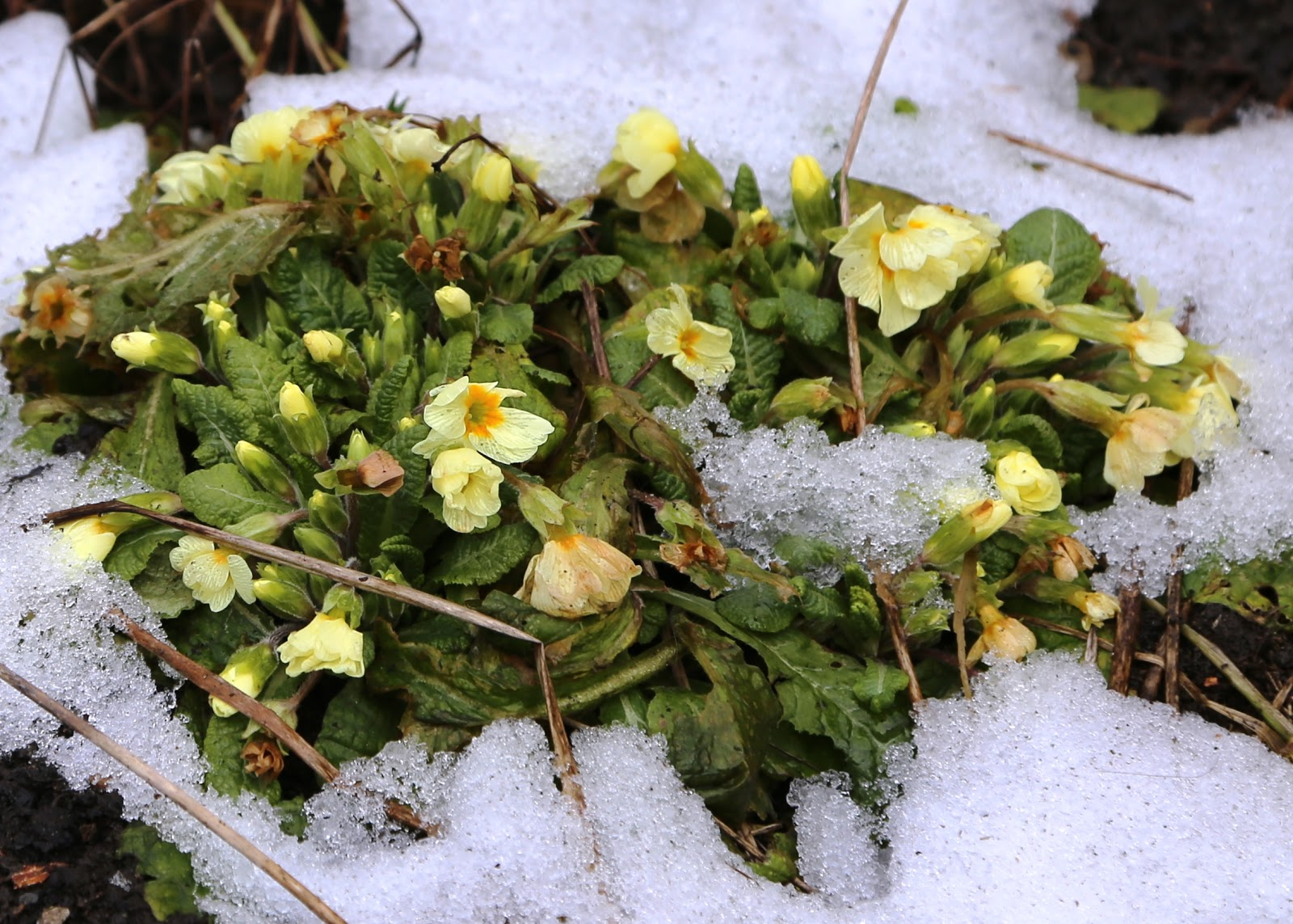 Winter Flowers Of Hardy Plants Tougher Than Humans Gardeners Word