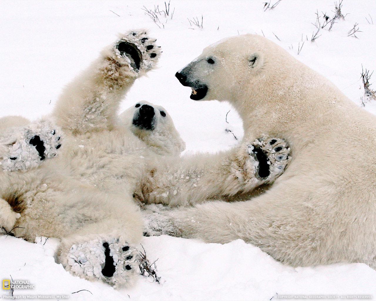Amper Bae: Polar Bear Cubs