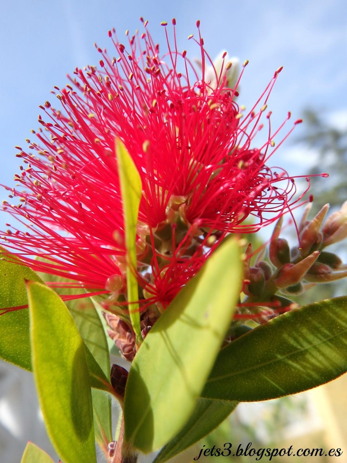 Callistemon citrinus rbol del for Planta decorativa toxica