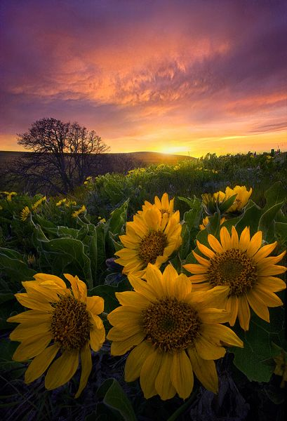 Linux Mint Animated Wallpaper Autumn Beautiful Sunflowers Wallpapers Pix Galleries