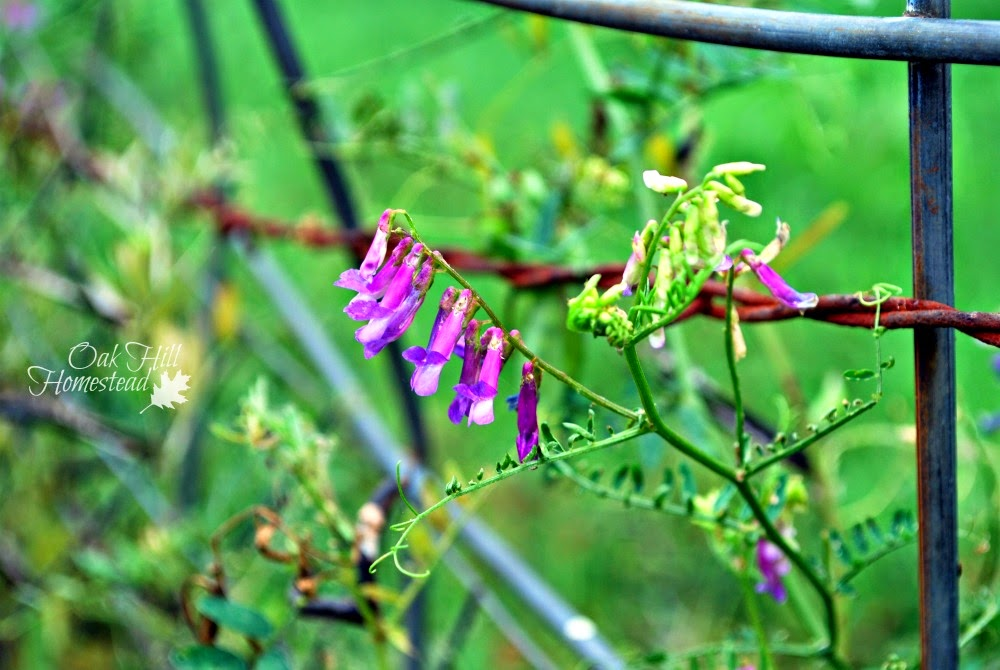 The benefits of growing hairy vetch for livestock.