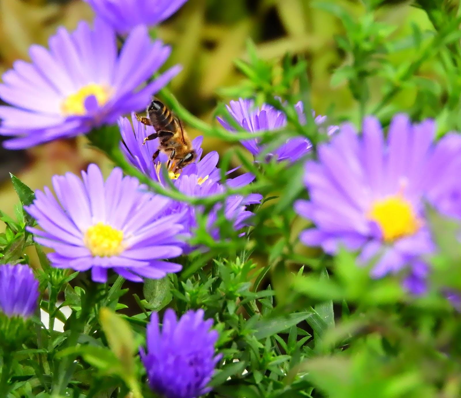 Biene%2Bauf%2BZwergaster Faszinierend Schlechtes Sehen Bei Nacht Dekorationen