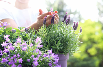 Perawatan Tanaman Lavender