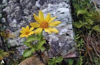 http://sciencythoughts.blogspot.co.uk/2014/12/a-new-species-of-burr-marigold-from.html