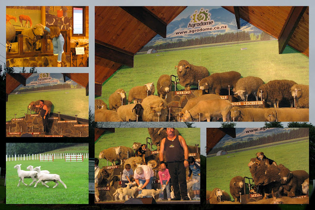Sheep show at the Agrodome in New Zealand