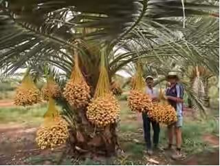 Kampung kurma - pohon kurma