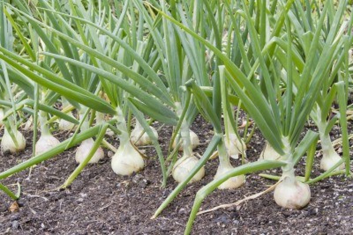 How To Grow Onions ! Garden Bible