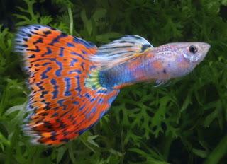 أسماك الطاووس الصينية الرائعة الجمال سبحــــــان الله image0099-732614.jpg