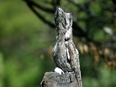 Urutaú común Nyctibius griseus