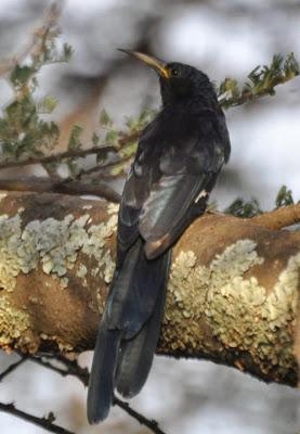 Abudilla arbórea negra Rhinopomastus aterrimus