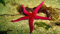 Starfish pictures_Asteroidea