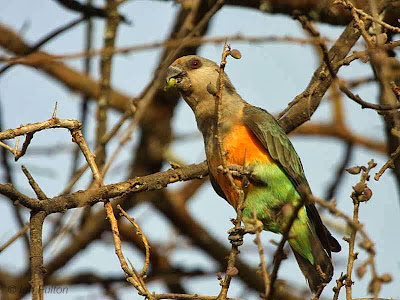 Red bellied parrot